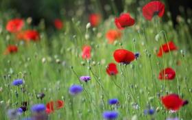 Обои красный, цветок, лепестки, маки