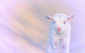 Обои природа, фон, goats