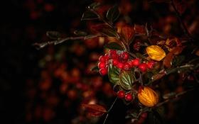 Картинка осень, листья, макро, ягоды, ветка