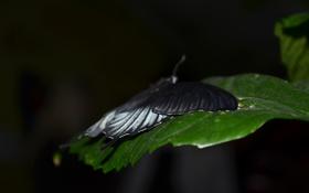 Обои бабочка, лист, макро