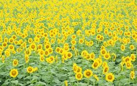 Картинка поле, природа, Подсолнухи, много
