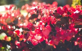 Обои цветы, лепестки, красные, розовые