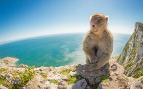 Обои природа, море, Barbary Macaque, гора
