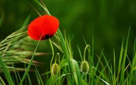 Обои цветок, красный, мак, лепестки