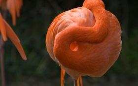 Обои изгиб, фламинго, шея