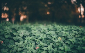 Картинка листья, растения, крапива