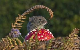 Обои гриб, мышь, мухомор, мышонок