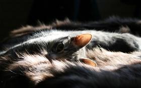Картинка кошка, взгляд, мех, уши