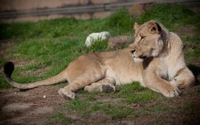Картинка кошка, трава, отдых, львица