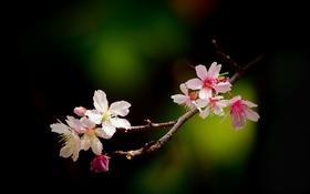 Обои цветы, вишня, блики, ветка