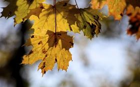 Обои клен, природа, листья, осень