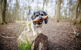 Картинка взгляд, собака, морковка
