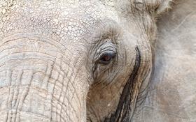 Обои макро, природа, слоны