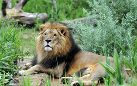 Картинка кошка, трава, отдых, лев