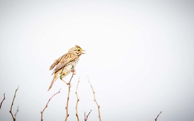 Обои bird, singer, branches, singing, rainy