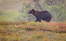 Обои гризли, непогода, осень, медведь
