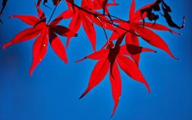 Обои осень, листья, клен, багрянец