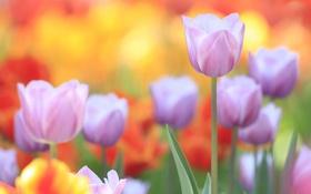 Обои лепестки, сад, стебель, луг, тюльпаны