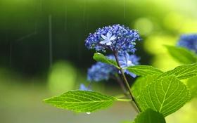 Картинка листья, цветы, дождь, зеленый чай, райский чай