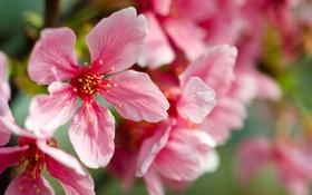 Обои розовые, вишня, макро, цветы