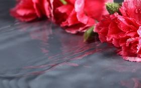 Обои макро, цветы, отражение, лежат, гвоздики