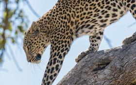 Обои леопард, животное, хищник, природа, листья, дерево, ствол