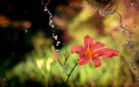 Обои цветок, вода, макро, брызги, лилия