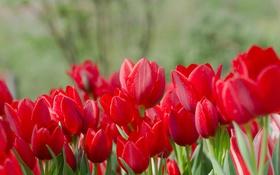 Картинка лепестки, тюльпаны, алый, бутоны, цветение, много
