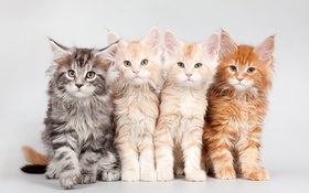 Обои котята, квартет, мейн-кун