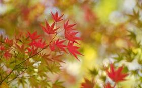 Обои осень, листья, ветка, клен, багрянец