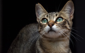 Обои кот, морда, кошка, усы