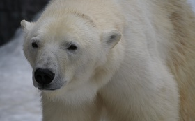 Обои взгляд, морда, шерсть, белый медведь