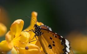 Обои цветок, макро, природа, бабочка, насекомое, окрас