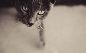 Обои eyes, cat, curiosity