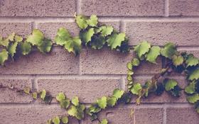 Обои зелень, листья, стена, листва, растение, плющ