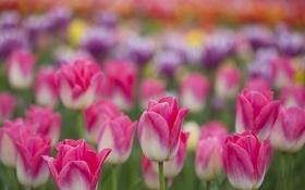 Картинка поле, лепестки, сад, луг, тюльпаны