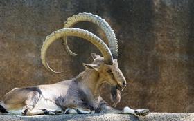 Картинка рога, зоопарк, нубийский козерог