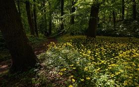 Обои лес, деревья, цветы, ромашки, тропинка