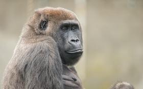 Обои взгляд, природа, обезьяна