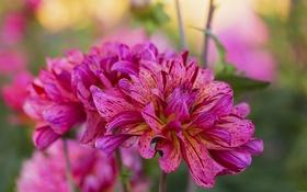 Обои цветок, лепестки, полосатый, цветение, георгин