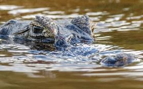 Обои хищник, крокодил, водоем