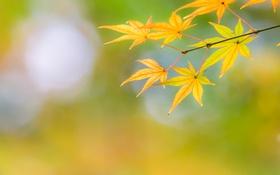 Обои осень, листья, макро, жёлтый, цвет, ветка, клён