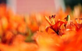 Обои лилии, фокус, красные, много