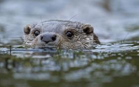 Обои животные, вода, animals, water, otter, выдра
