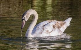 Обои грация, лебедь, водоем, шея