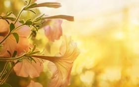 Обои цветы, блики, петунья, нежно-розовые