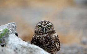 Обои глаза, сова, птица, перья, клюв