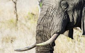 Картинка природа, слон, Африка
