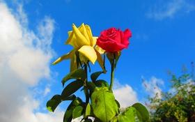 Обои небо, листья, роза, куст, сад, бутон