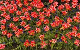 Обои весна, лепестки, сад, тюльпаны, клумба